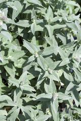 Silberminze, Mentha, longifolia, Buddleia, Pfefferminze;