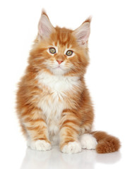 MaineCoon kitten on a white background