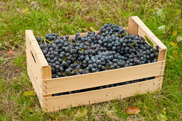 Wine grapes in box