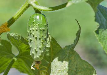 cucumber growing in the garden closeup