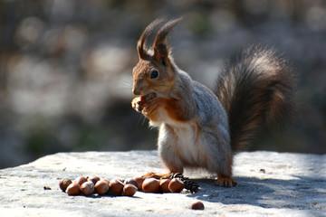 Очаровательная рыжая белочка ест орехи сидя на камне