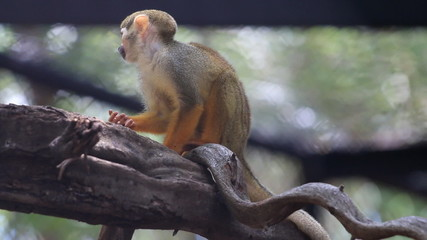 Squirrel Monkey on tree branch, HD Clip