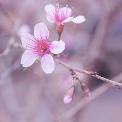 Wild Himalayan Cherry, Thailand Sakura pink flower