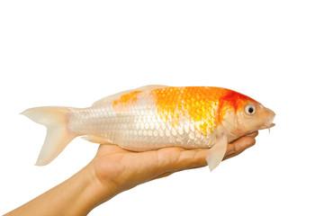 carp fish, koi fish on hand