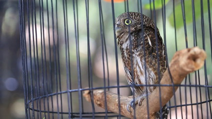 Close up  Collared owlet, Collared pygmy owl in birdcage.