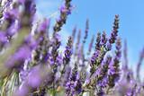 Fototapety Lavender in Provence, France