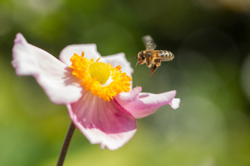 A hoverfly flying near a pink and yellow flower