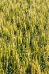 Gerstenfeld vor der Ernte