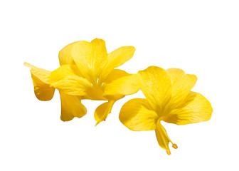 Barleria lupulina Lindl flower