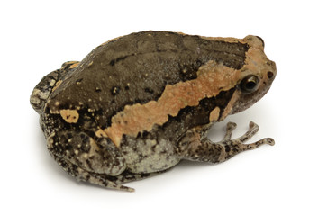 bullfrog isolate on white background