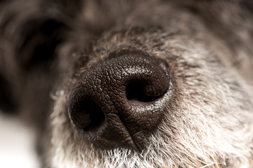 Close up of the cold wet nose of a dog