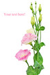 Pink Eustoma (Lisianthus) flower isolated.
