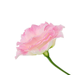 Eustoma (Lisianthus) flower isolated. Clipping path.