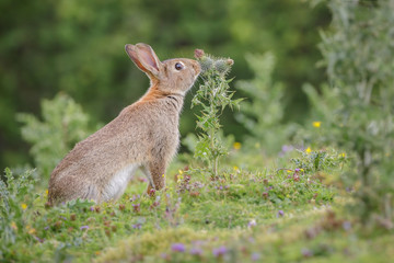 Rabbit and thistle