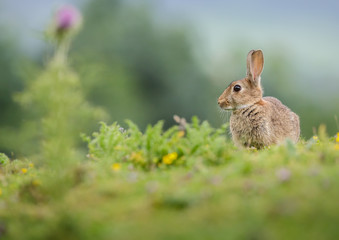 Rabbit in Yorkshire