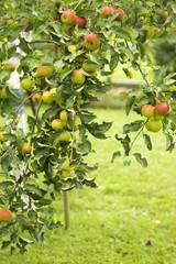 apfelbaumast  mit vielen äpfeln.herbst.ernte.