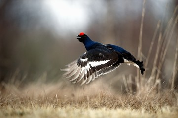 Jumping Black Grouse
