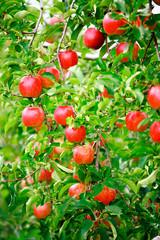 リンゴ豊作