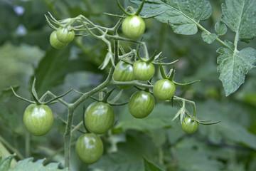 Ripening Organic Tomatoes