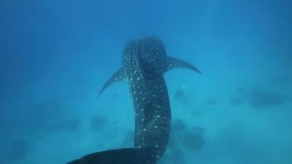 Whale shark swimming underwater POV