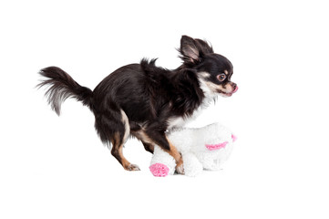 Chihuahua trying to mate with a teddy bear doll