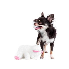 Chihuahua with a teddy bear doll