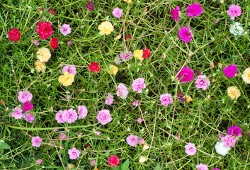 Portulaca flowers at the garden in morning