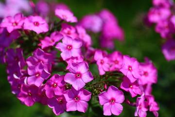 フロックスの花