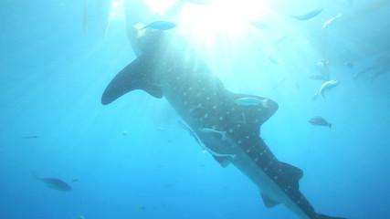 Whale shark and sunlight rays underwater