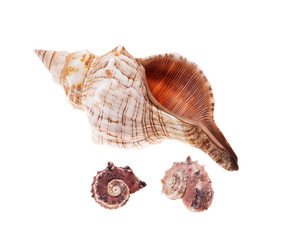 Rapana shell isolated on white background. Close-up view.