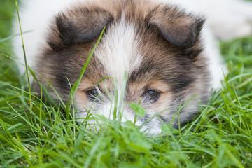 Elo Welpe liegt mit dem Kopf im Gras