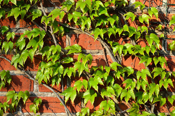 Parthenocissus tricuspidata on a brick wall