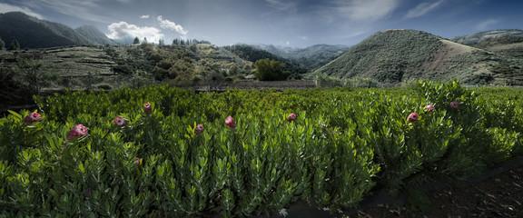 Plantación de Proteas
