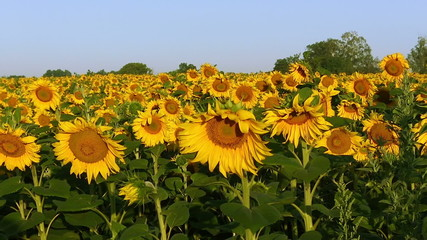Field with sunflowers. Panorama