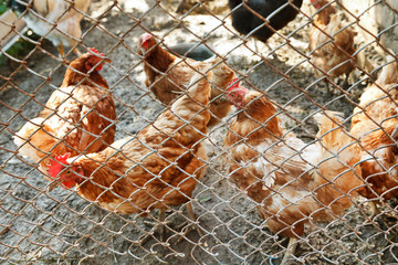 chickens on poultry yard