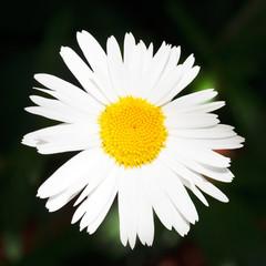 fresh Ox-eye daisy flower close up