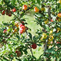 ripe plums on tree twigs