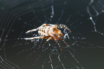 macro view of European garden spider on cobweb