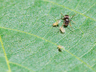 ant pastures few aphids on leaf