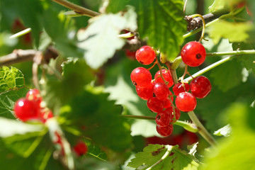 garden red currant berries on green bush