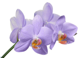 isolated light violet four orchid flowers branch