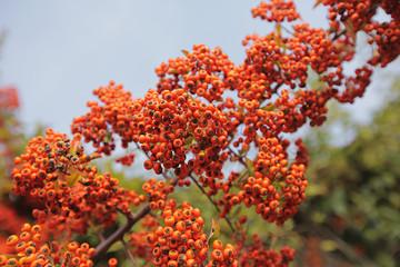 Pyracantha bacca la pianta che circonda le ville e giardini