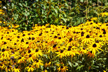 Field of Brown-eyed Susans on Green