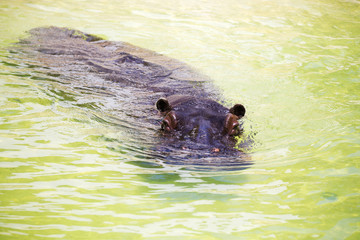 Hippopotamus floating in the water