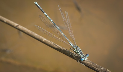 Emperor Dragon Fly
