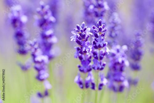 In de dag Lavendel ラベンダー