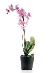 Beautiful pink orchid in a flowerpot