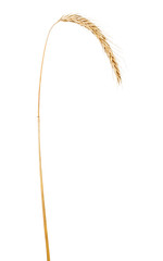 single ear of rue isolated on white