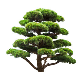 bonsai green pine tree isolated on white