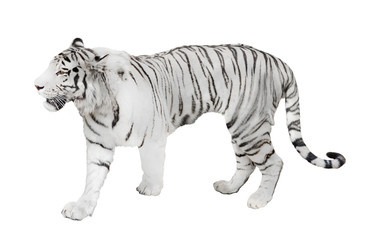 isolated on white lalbino tiger
